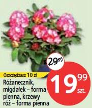 Różanecznik, migdałek - forma pienna, krzewy róż - forma pienna