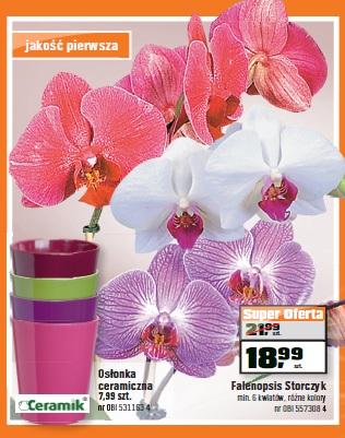 Felenopsis Storczyk