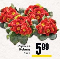 Prymula Rubens