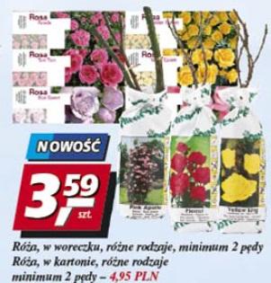 Róża w woreczku minimum 2 pędy
