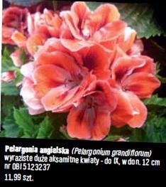 Pelargonia angielska