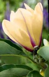 Magnolia odmiana Sunrise
