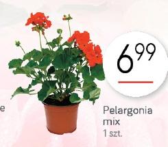 Pelargonia mix
