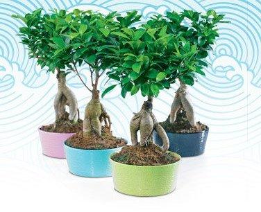 Archiwum Ficus Bonsai Ginseng W Doniczce Ceramicznej