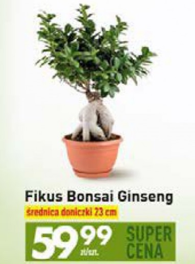 Archiwum Fikus Bonsai Ginseng Szt Biedronka 28 08